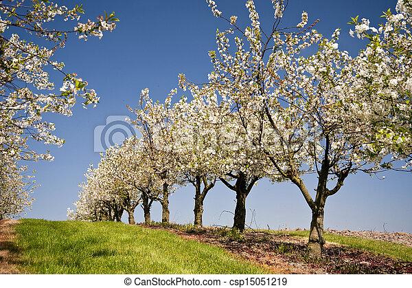 Cherry Trees - csp15051219