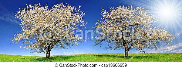 cherry trees - csp13606659