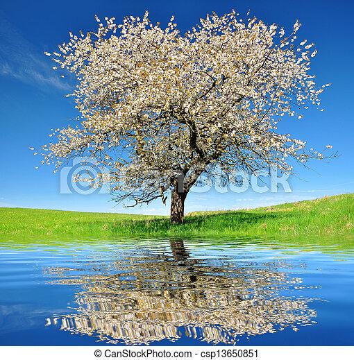 cherry trees - csp13650851