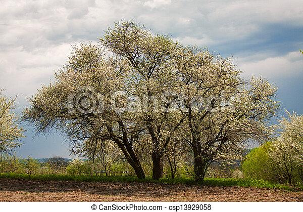 cherry trees - csp13929058