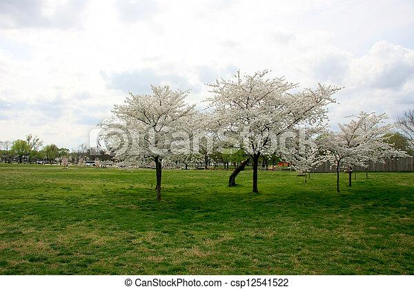 Cherry trees - csp12541522