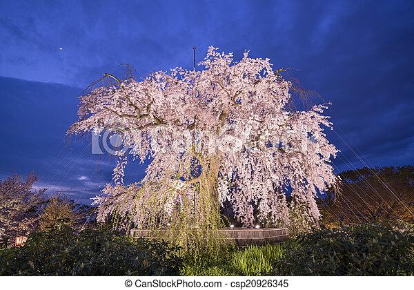 Cherry Trees - csp20926345