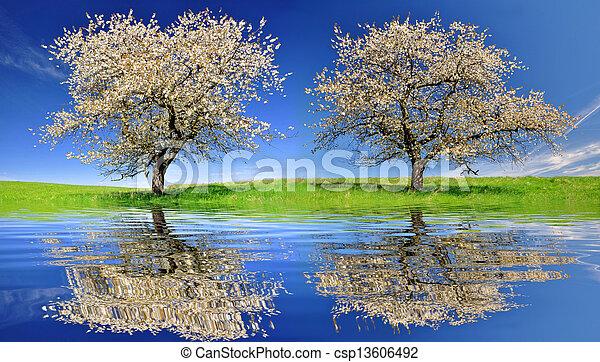cherry trees - csp13606492
