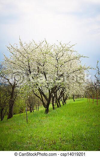 cherry trees - csp14019201