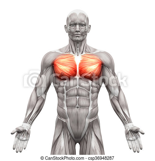 Chest muscles - pectoralis major and minor - anatomy muscles ...