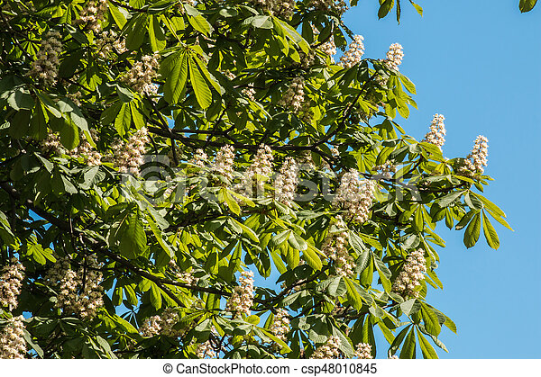 Chestnut tree flowers on a sunny day - csp48010845