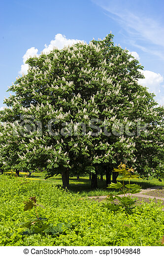 Blooming chestnut tree with white flowers and blue sky chestnut tree with white flowers and blue sky csp19049848 mightylinksfo