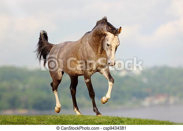 cheval, arabe - csp9434381