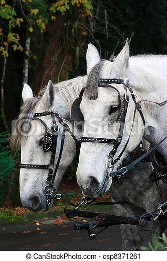chevaux, deux - csp8371261