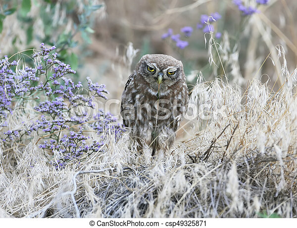 Chick of a little owl eats snake. Young little owl eat a ...