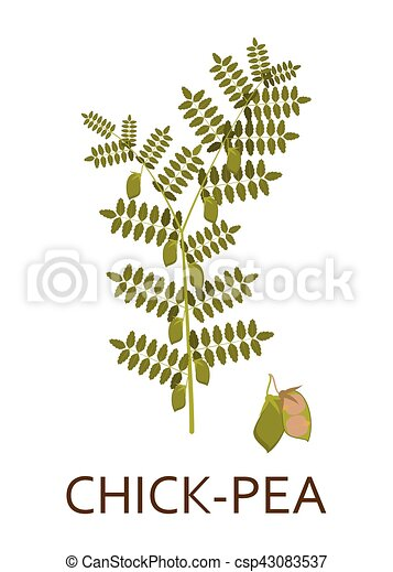 Chick pea plant with leaves and pods. Vector illustration. - csp43083537