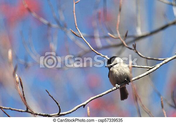 Chickadee - csp57339535