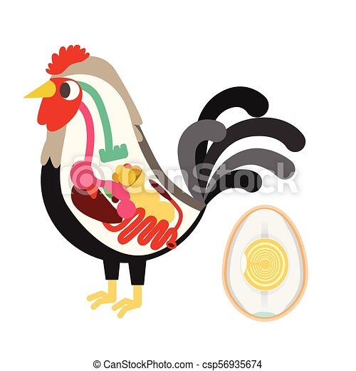 Chicken egg life cycle and anatomy illustration vector.