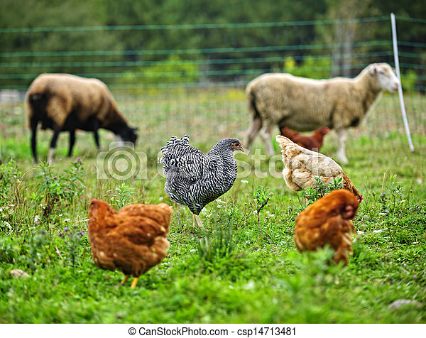 Chickens and sheep grazing on organic farm - csp14713481
