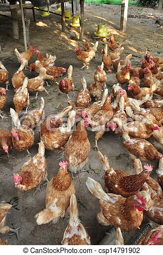 chickens farm in the countryside - csp14791902