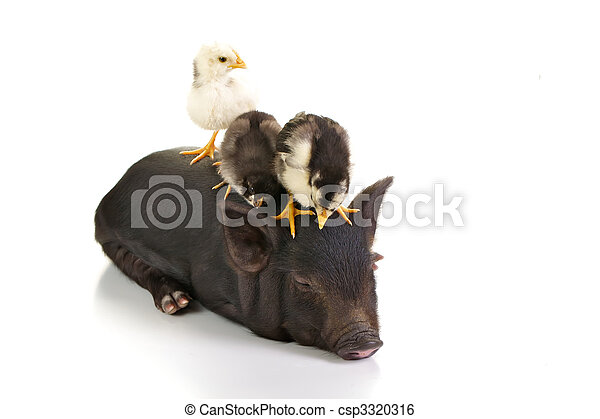 Chicks on pig - csp3320316