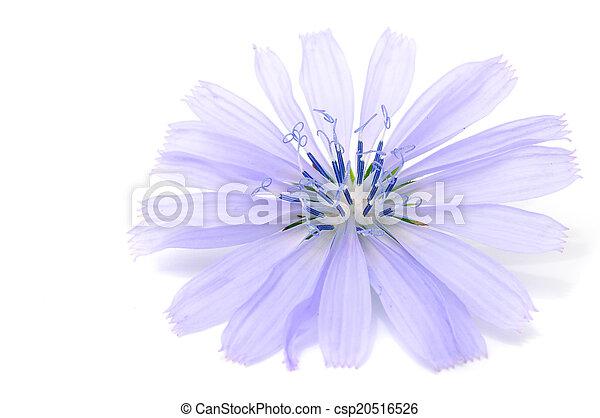 Chicory Flower - csp20516526