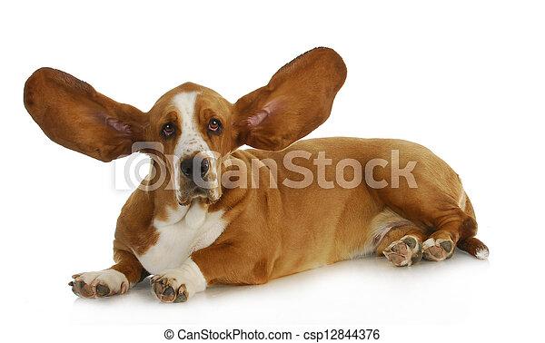 chien, écoute - csp12844376