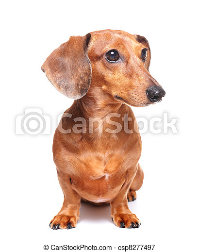 chien basset allemand - csp8277497