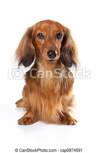 chien, long, arrière-plan., lapin, blanc, teckel - csp0974591