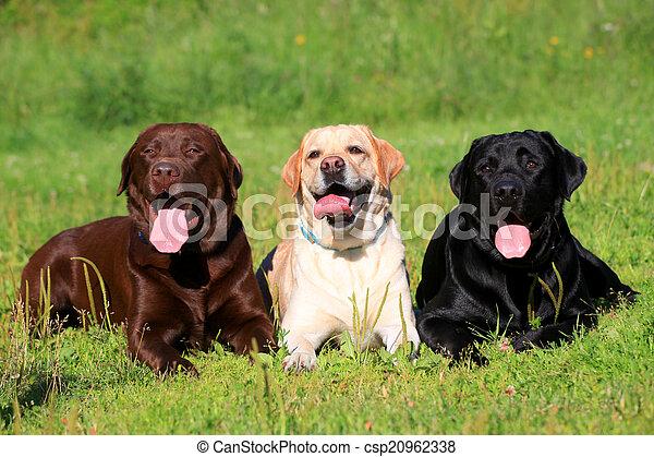 chiens, herbe, retriever labrador, trois - csp20962338