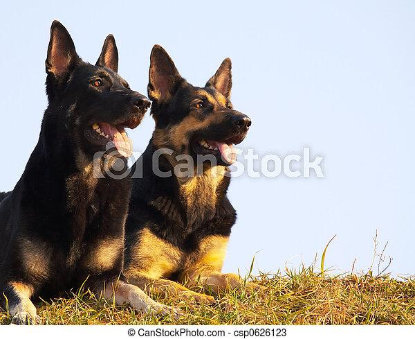 chiens - csp0626123