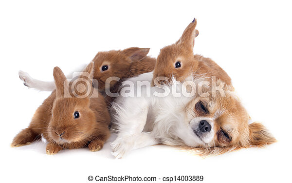 chihuahua and bunnies - csp14003889