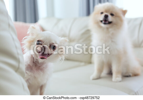 chihuahua and pomeranian dog cute pet happy smile - csp48729752