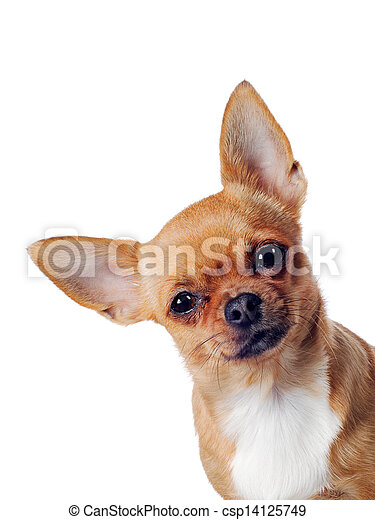 chihuahua, dog, achtergrond, witte  - csp14125749
