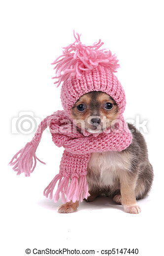 Chihuahua in Winter Clothes - csp5147440