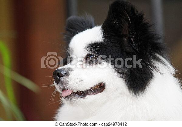 Chihuahua - csp24978412