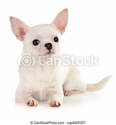 Chihuahua - csp4925307