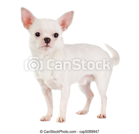 Chihuahua - csp5089947