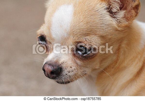 Chihuahua - csp18755785
