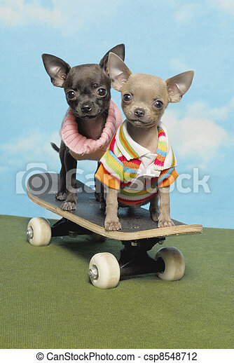 Chihuahua Puppies on a Skate Board - csp8548712