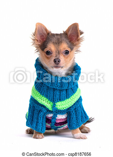 Chihuahua puppy dressed with colorful sweater - csp8187656