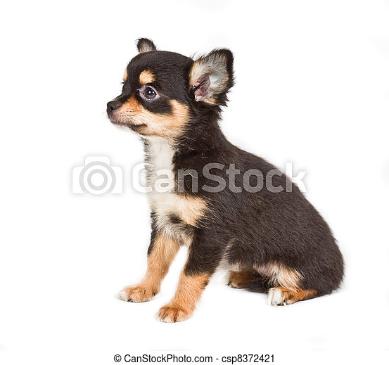 Chihuahua puppy in front of white background - csp8372421
