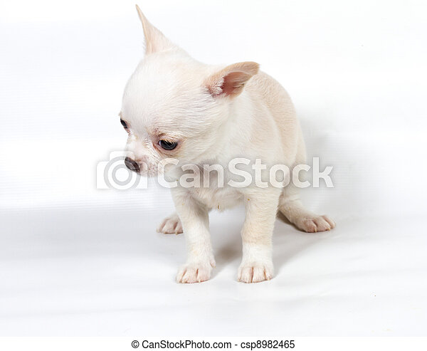 Chihuahua puppy in front of white background - csp8982465