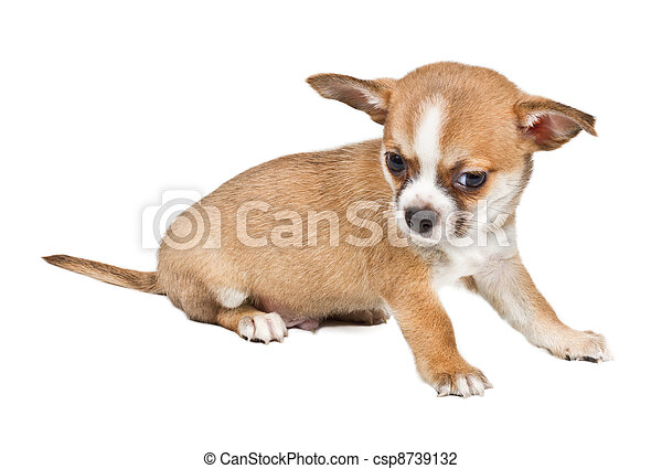 Chihuahua puppy in front of white background - csp8739132