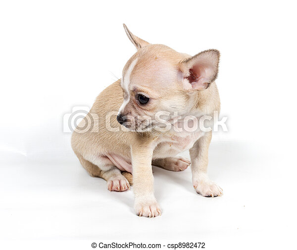 Chihuahua puppy in front of white background - csp8982472