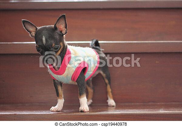 Chihuahua Puppy - csp19440978