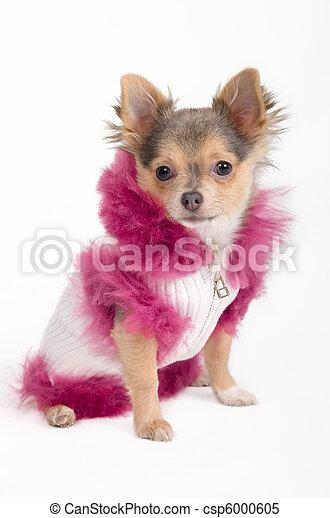 Chihuahua puppy - csp6000605