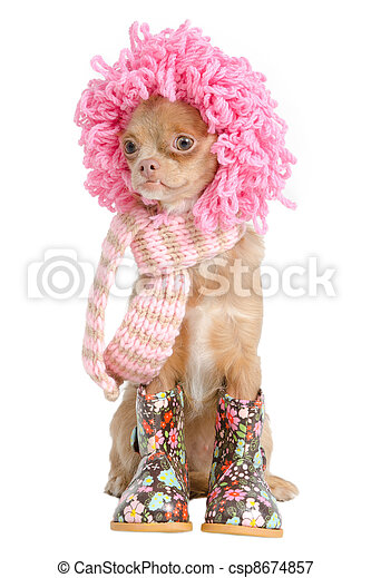 Chihuahua ready for winter - csp8674857