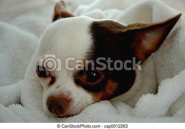 chihuahua resting - csp0012263
