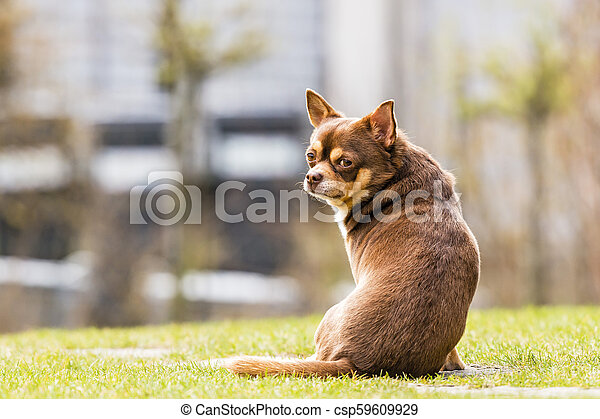 chihuahua sitting in the grass - csp59609929
