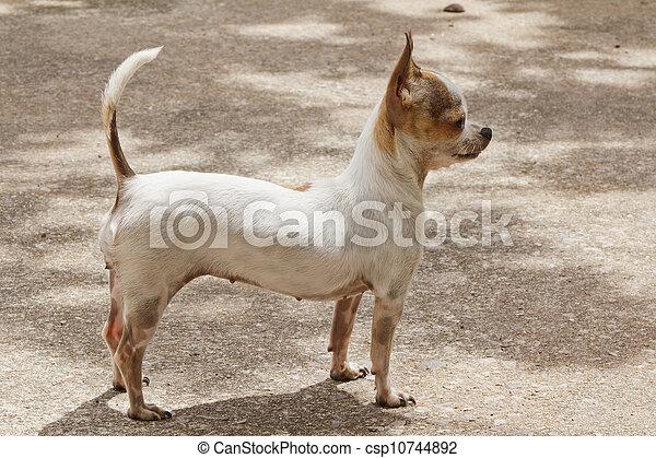 Chihuahua - csp10744892