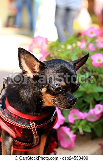 Chihuahua - csp24530409