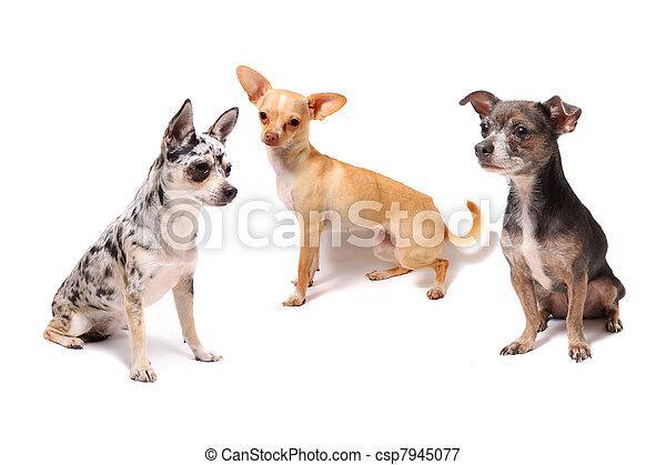 chihuahua, trois, chiens - csp7945077