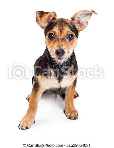 Chihuahua Vecchio Seduta Razza Tre Mese Mescolato Cucciolo