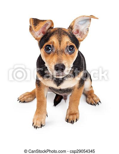 Chihuahua Vecchio Seduta Razza Tre Mese Mescolato Curioso